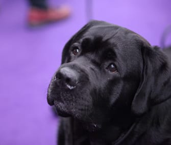 Most Common Leashes At Westminster Dog Show